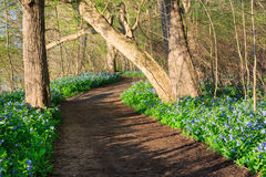 Dirt Trail Bluebells Wildflowers Virginia Park Royalty Free Stock Photography
