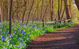 Dirt Trail Bluebells Wildflowers Virginia Park Stock Photography