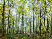 Dirt way in the mixed oak forest Stock Photography
