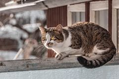 A dirty adult young tabby cat with yellow eyes and pink velvet wet nose is on an old gray wooden fence and expressively looks in. A dirty adult young tabby cat stock images