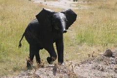 Dirty baby African elephant, Loxodonta africana, crossing the road.Massai Mara Park, Kenya, Africa. stock image