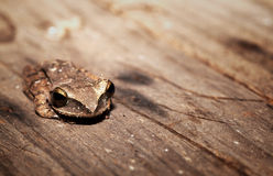 The dirty basin treefrog Royalty Free Stock Photo