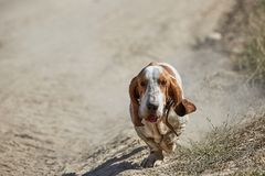Dirty basset hound runs along the road Royalty Free Stock Photography