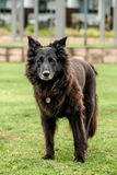 Dirty Black Older Dog Standing in a Park Stock Photo
