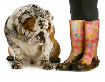 Dirty boots and dirty dog. Dirty dog and muddy boots - english bulldog sitting beside woman wearing rubber boots on white background Royalty Free Stock Photos