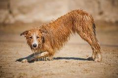 Dirty border collie dog. On the beach Stock Photography