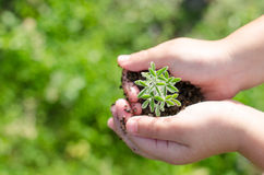 Dirty boy hands holding small young herbal sprout plant. Royalty Free Stock Image