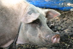 Dirty breeder pig Stock Photography