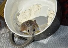 Flour encrusted wild brown house mouse jumping out of a gray and white bowl. A dirty brown house mouse, Mus musculus, caught covered in flour, jumping out of a Royalty Free Stock Photos
