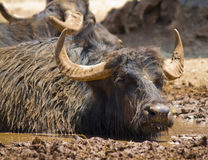 A dirty buffalo in the mud Royalty Free Stock Photo