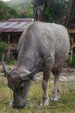 Dirty buffalo Royalty Free Stock Photo