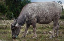 Dirty buffalo Stock Photography