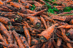 Dirty carrots Stock Photos