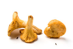 Dirty chanterelle mushroooms Royalty Free Stock Photos
