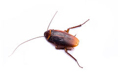 Dirty cockroach Royalty Free Stock Photos