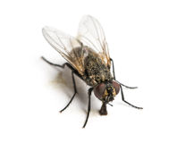 Dirty Common housefly eating, Musca domestica, isolated Royalty Free Stock Photos