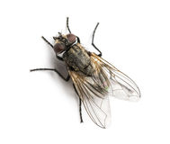 Dirty Common housefly viewed from up high, Musca domestica Stock Photo