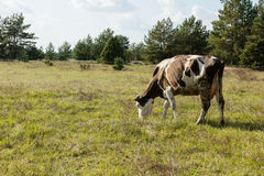 Dirty cow eating grass Royalty Free Stock Images