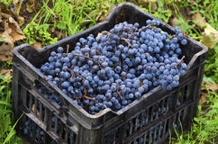 Dirty crate full with Merlot clusters in a vineyard during the vine harvest in Bulgaria. Selective focus royalty free stock photo