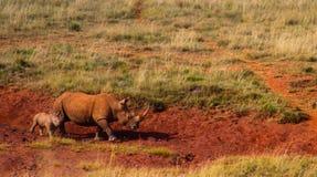 Dirty Cute White Rhino or Rhinoceros walking away with a tiny ba stock photo