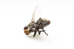 Dirty Dead Fly isolate Royalty Free Stock Photography