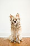 Dirty Dog. Dirty wet dog looking at camera Royalty Free Stock Photography