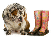 Dirty dog. And muddy boots - english bulldog sitting beside rubber boots on white background stock image
