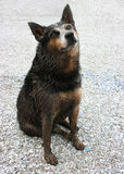 Dirty Dog. Heidi the Heeler is at it again.  Instead of snow, she played in the mud Royalty Free Stock Photo