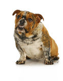 Dirty dog. Muddy english bulldog looking up with reflection on white background Royalty Free Stock Image