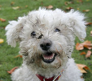 Dirty Dog. Close-up of muddy, white dog face Stock Image