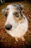 Dirty dog. Closeup of a dirty Australian Shepherd dog in mud Stock Photography