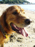 Dirty dog. Golden retriever dog at the beach wet and dirty with sand Stock Image