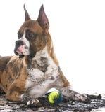 Dirty dog with ball Stock Photos