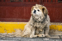 Dirty Dog in China Stock Photography