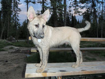 Dirty dog. Dog covered in mud on picnic table Stock Image