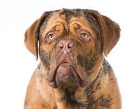 Dirty dog. Ue de bordeaux portrait on white background Stock Photography