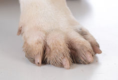 Dirty dog feet Stock Photography