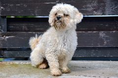 Dirty dog. Moody poodle dirty dog on the street Royalty Free Stock Photography