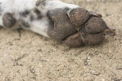Dirty dog paw. On concrete floor Royalty Free Stock Photography
