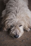 Dirty dog Royalty Free Stock Photos