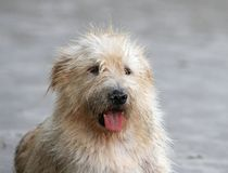 Dirty dog Stock Images
