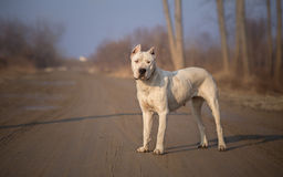 Dirty Dogo Argentino. In Nature stock images