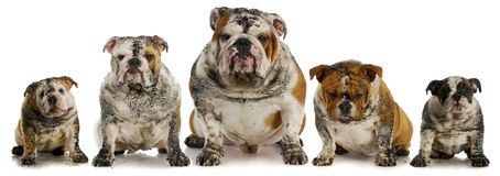 Dirty dogs. Five muddy english bulldogs Royalty Free Stock Photo
