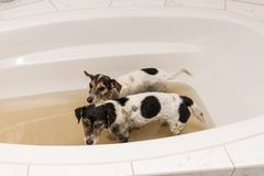 Dirty dogs ready for washing royalty free stock photo