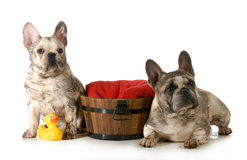 Dirty dogs. Two french bulldogs ready for a bath isolated on white background Royalty Free Stock Photo