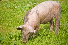 Dirty Domestic pig Royalty Free Stock Photo