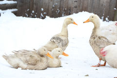 Dirty duck on the white snow. Dirty white duck on the snow. Winter day Royalty Free Stock Image
