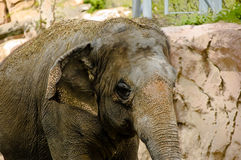 Dirty elephant. A closeup view of an elephant in a zoo, covered with dried mud and dirt Stock Photography
