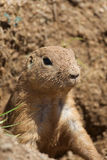 Dirty Faced Prairie Dog Stock Images