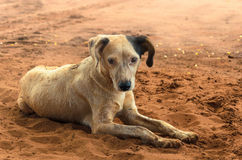 Dirty farm dog lying on the ground. Stock Images